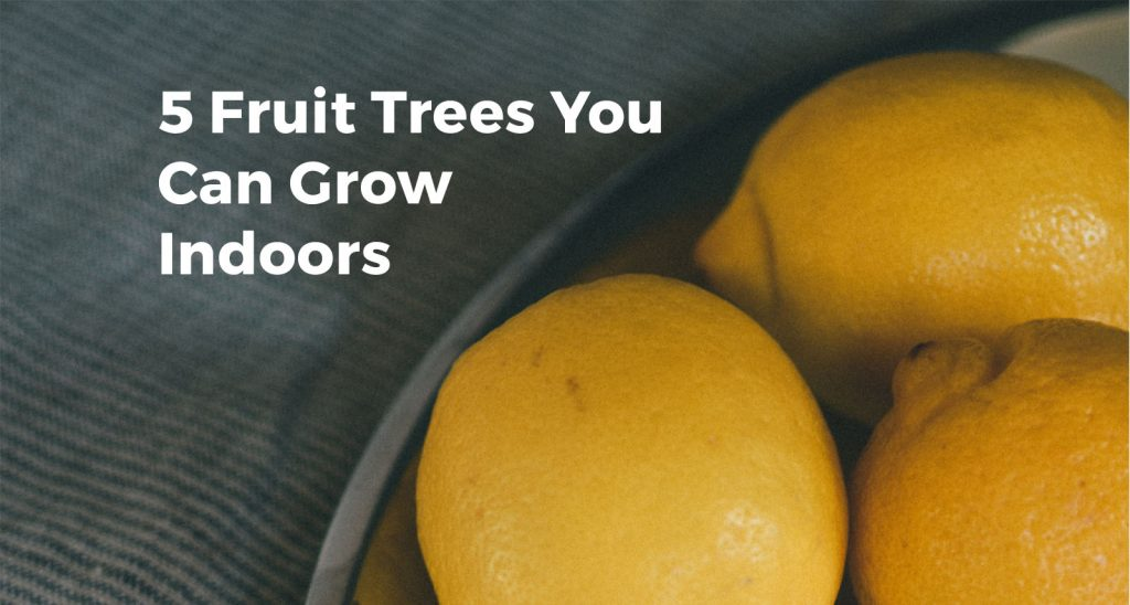 5 Fruit Trees for Indoors